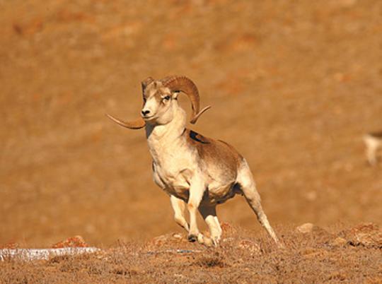 近年来,羌塘保护区野生动物得到恢复性增长.